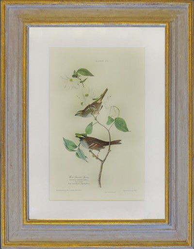 Audubon, John J. - White throated Sparrow (Weißkehlammer).